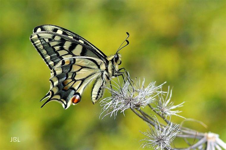 (Ilustración: Papilio macaón. Esta bellísima mariposa europea lleva el nombre de uno de los hijos del dios de la medicina Asklepio o Esculapio: Macaón. Monte Bacayo, Jaén, 12 de mayo).
