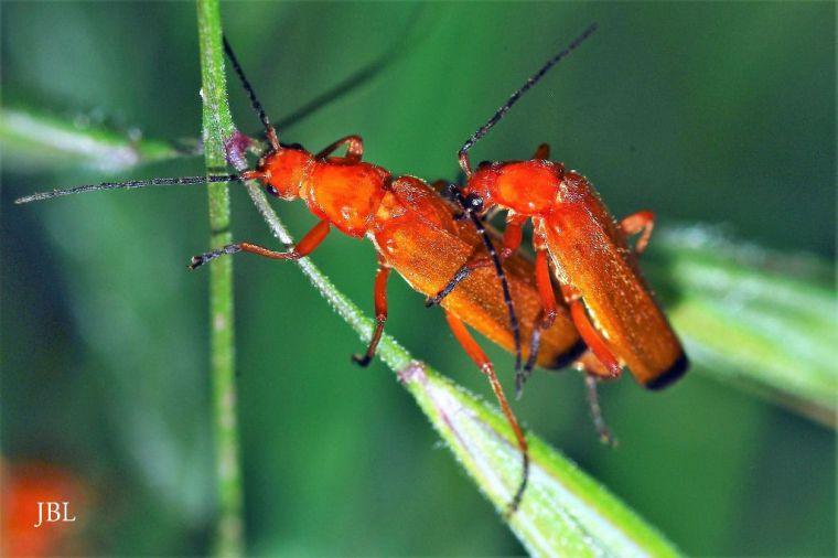 Cópula de escarabajos coraceros (Rhagonycha fulva).