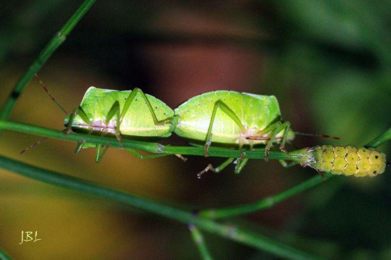 (Ilustración: Acople de Palomena viridissima, hemípteros pentatómidos)