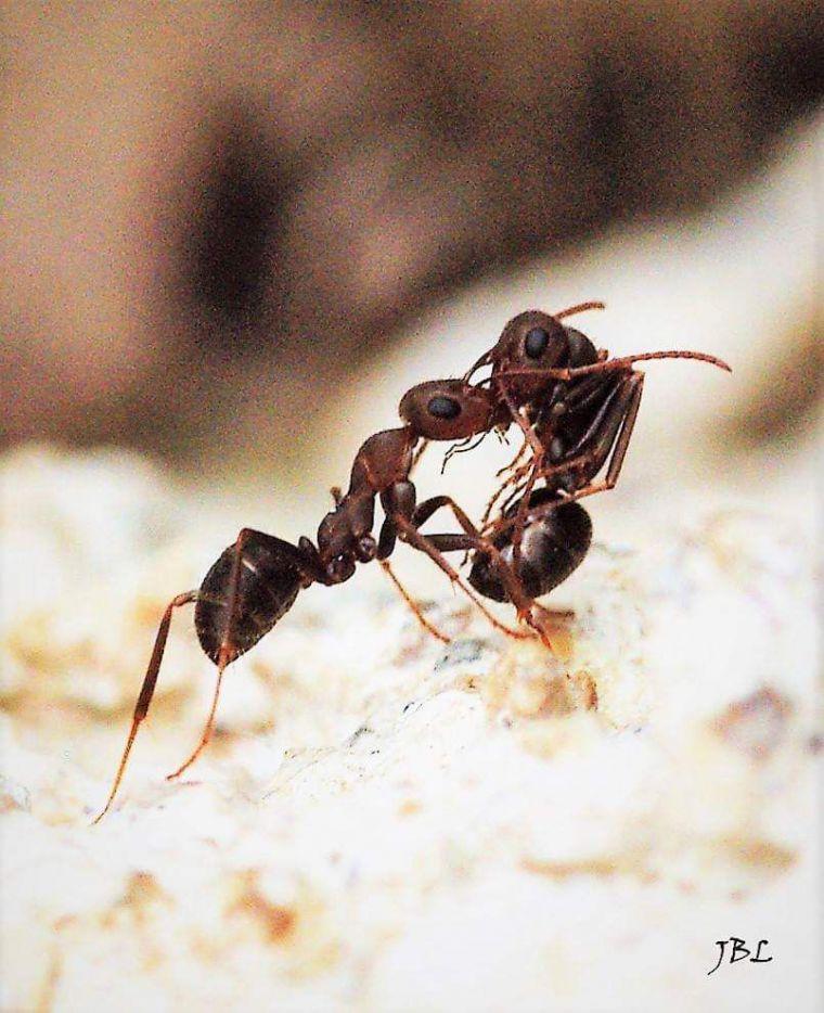 Ilustración: Una hormiga arrastra fuera del hormiguero el cadáver de una compañera.