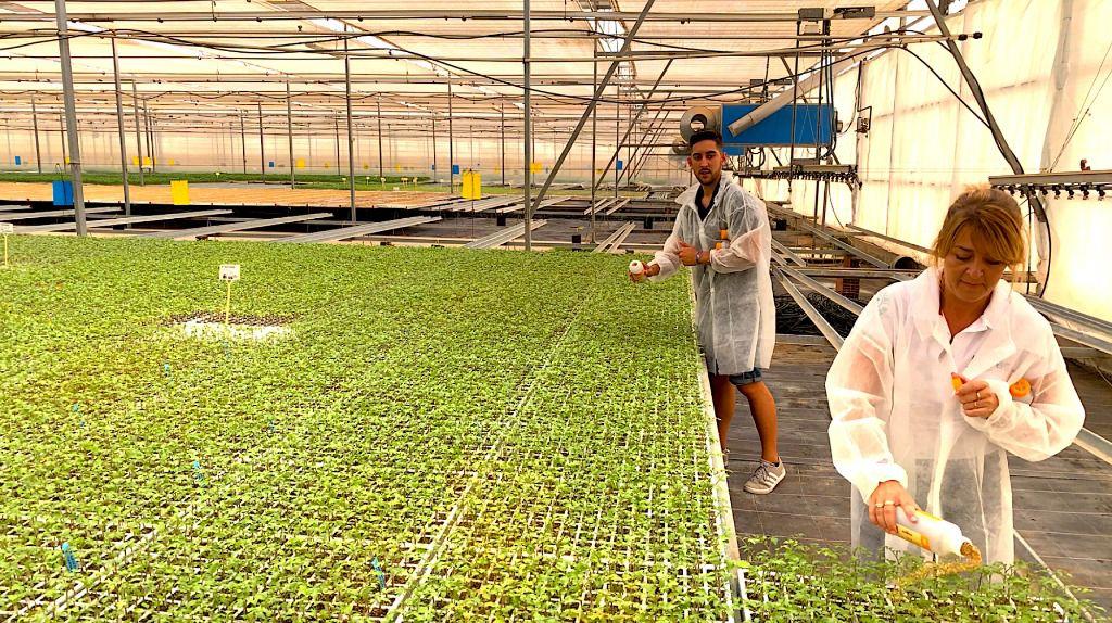 Con la suelta en semillero, Koppert adelanta tres semanas la instalación de Nesidiocoris