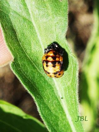 larva de Coccinella septempunctata (mariquita)
