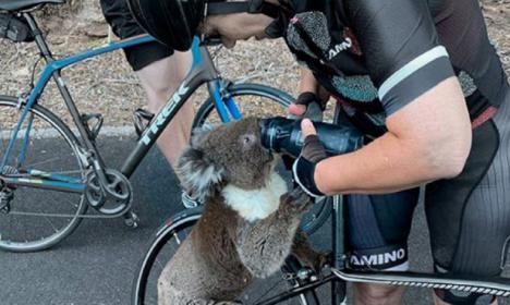 Un koala desesperado que pide agua a unos ciclistas