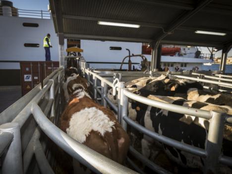La Delegación del Gobierno autoriza el reinicio de la actividad de exportación de animales en el Puerto de Cartagena
