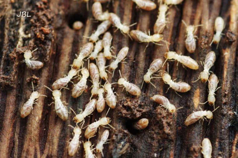 (La ilustración es foto del autor: termitas obreras devorando madera)