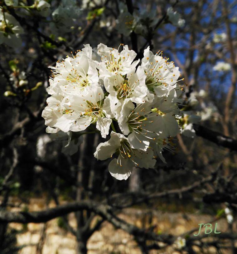 (Ilustración: Flores de ciruelo, foto 18 febrero 2020. Loma de Úbeda)