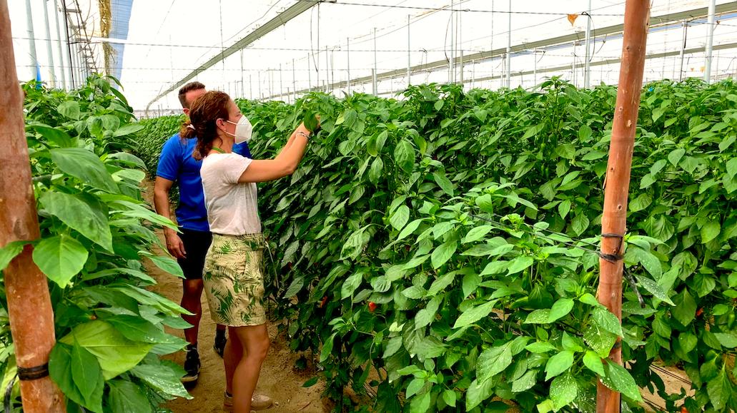 Koppert recomienda adaptar el control biológico de Trips en pimiento a las necesidades de cada finca