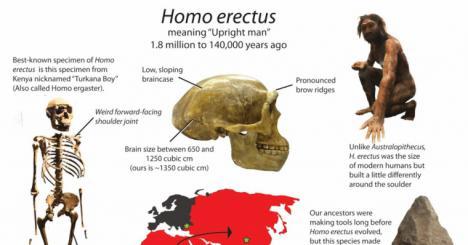 El Homo erectus se extinguió por perezoso