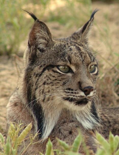 El Ayuntamiento de Lorca respalda en el proyecto 'Life Lynx Connect' para el regreso del lince ibérico a la Región de Murcia