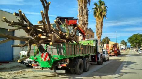 """El PP denuncia que el alcalde de Lorca incumple su palabra con los vecinos de la zona y ejecuta el """"arboricidio"""" de los árboles adultos de la carretera de Caravaca"""