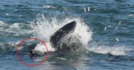 Una ballena se traga a un buzo y lo escupe vivo poco después