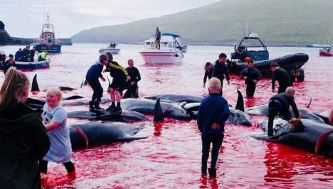 Matan a 180 ballenas por un ritual centenario en las Islas Feroe