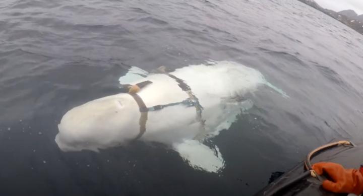 Pescadores noruegos localizan una beluga con un arnés que podría ser un arma rusa