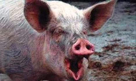 En España, más cerdos que habitantes