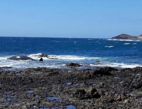 Aparece un cetáceo de cinco metros muerto en la playa de La Jaquita en El Médano, al sur de Tenerife