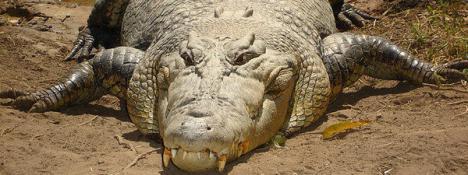 Un cocodrilo se come a una investigadora en Indonesia