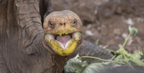 Se llama Diego y es una Tortuga Galápago macho que ha salvado de la extinción a su especie