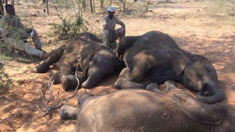 La última gran matanza de elefantes en su último santuario en África