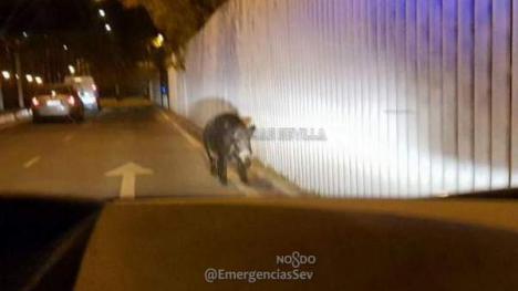 La policía abate un jabalí de 100 kilos que se paseaba por Sevilla