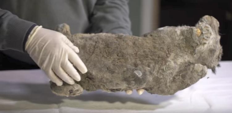 Hallados en Rusia los restos congelados de un cachorro de león de las cavernas