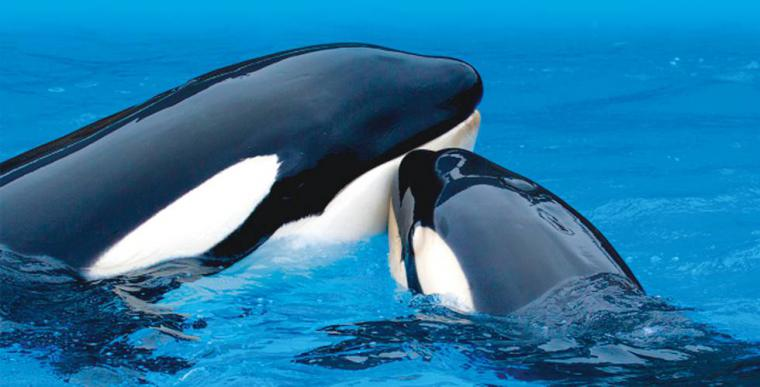Loro Parque no ve viable trasladar cetáceos de los zoos a recintos en el mar