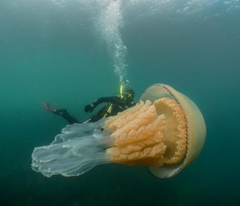 Una medusa gigante ha sido grabada en las costas británicas