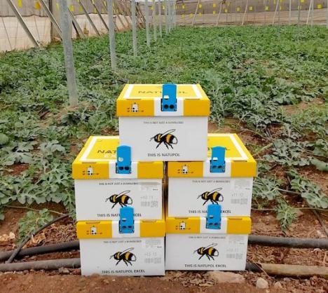 Koppert recomienda el uso de abejorros para mejorar la polinización de melón y sandía en invernadero