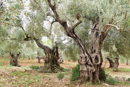 Una bacteria pone en peligro el olivar español.