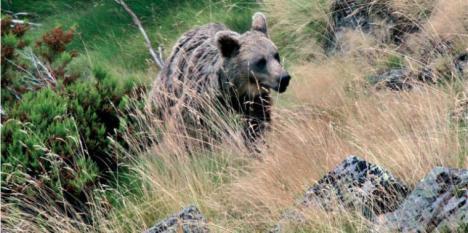 Se retoma la búsqueda del oso al que dispararon en Palencia