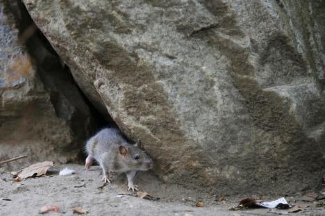 Tras los incendios, una plaga de ratas devasta Portugal