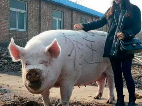 China busca una solución a le escasez de carne con la crianza de cerdos gigantes