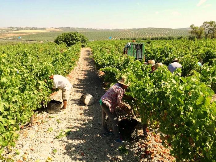 Da comienzo la vendimia en el Condado de Huelva con una uvade gran calidad