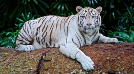 Un tigre blanco, protagonista de un susto de muerte
